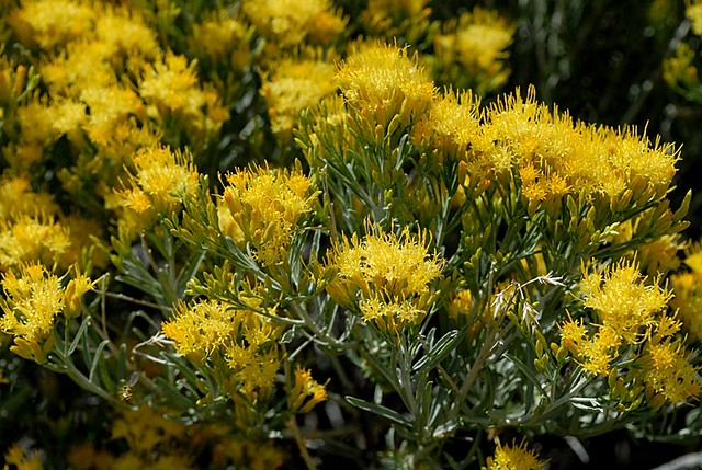 Ericameria nauseosa var. speciosa (Rubber Rabbitbrush)