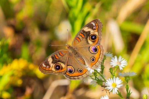 commonbuckeye butterflies butterfly lawrenceburg indiana dearborncounty oxbow