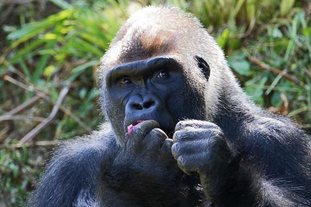 Breakfast - Western lowland gorilla (Gorilla gorilla gorilla) - Paignton Zoo, Devon - May 2019