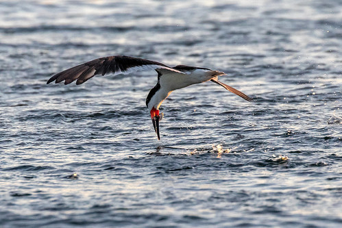 outdoor seaside dennis adair shore sea sky water nature wildlife 7dm2 7d ii ef100400mm ocean canon florida bird