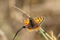 Small Copper - Wanstead Park.