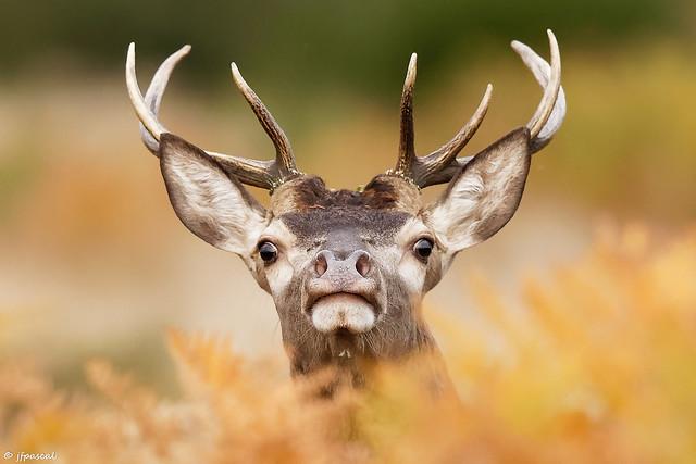 Cerf élaphe (Cervus elaphus) - Red deer