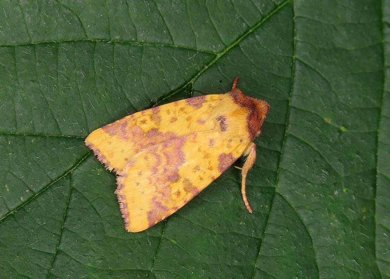 73.181 Pink-barred Sallow - Xanthia togata