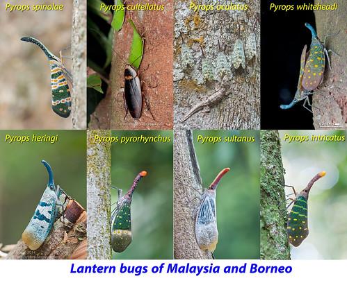 Lantern bugs of Malaysia & Borneo