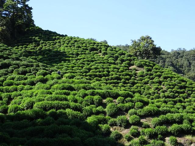 Long Jing Tea, Hangzhou