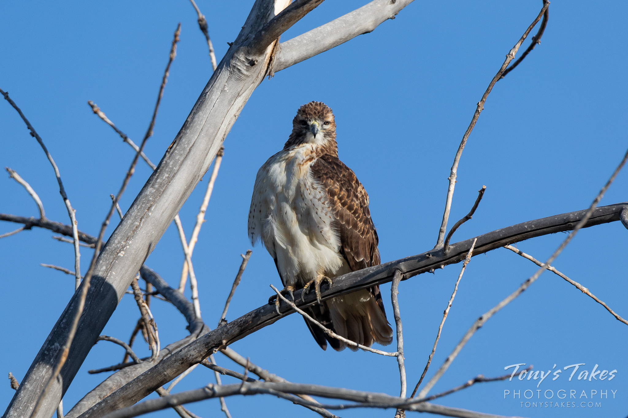 A red-tailed hawk looks to be a bit tired. (© Tony's Takes)