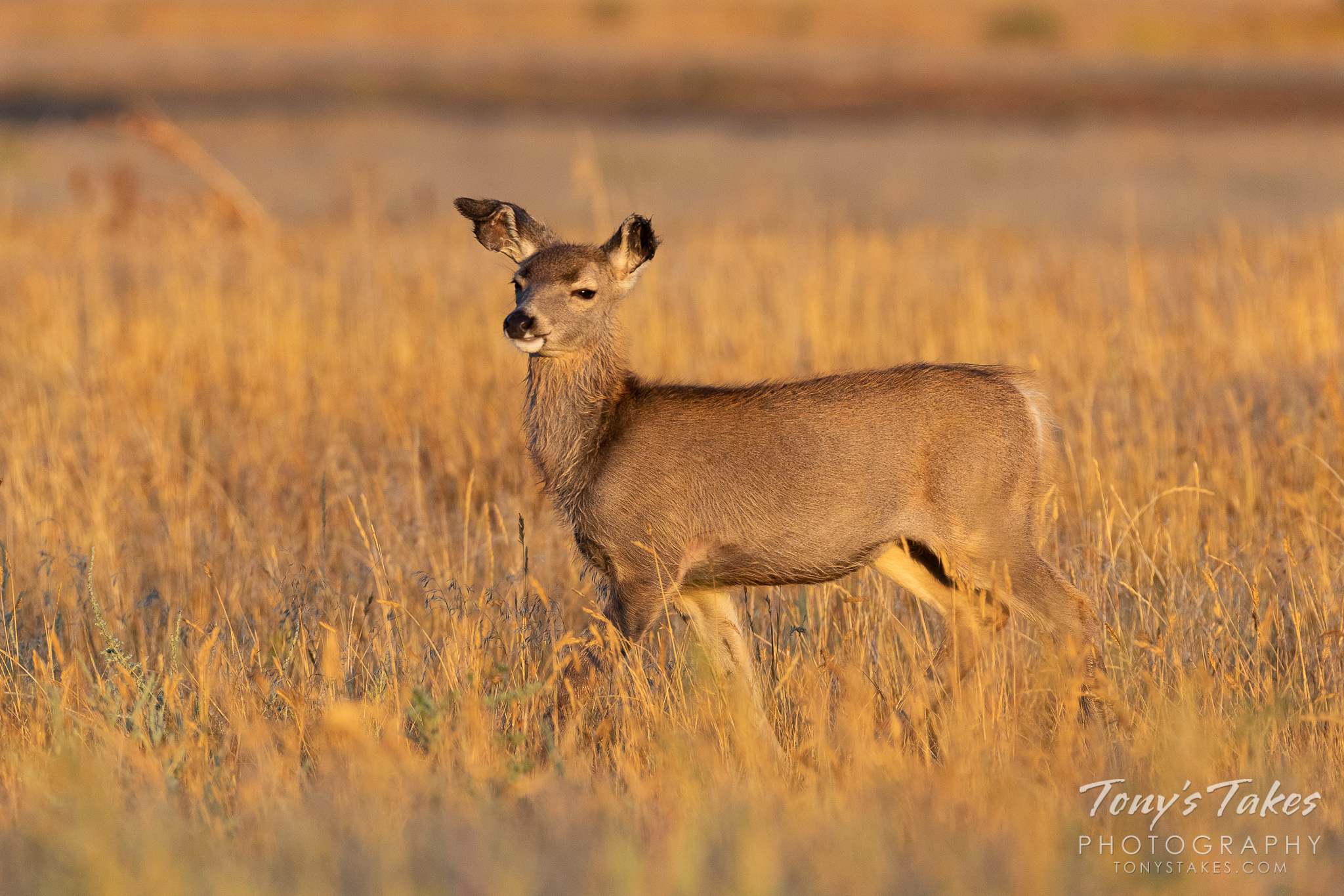A mule deer fawn seems to know that it is awfully cute. (© Tony's Takes)
