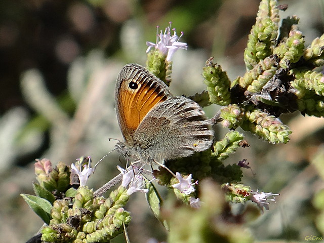 Little butterfly and  oregano (small heath)