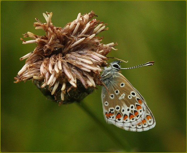 Brown Argus - Sheltering from the rain