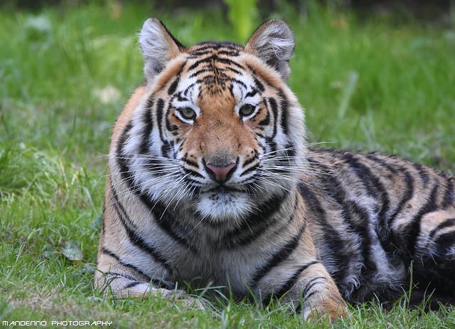 Bengal tiger - Pakawipark