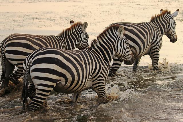 Zebras,Amboseli National Park,Kenya