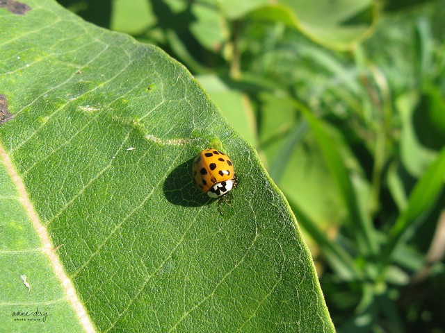 B5-02-15 Harmonia axyridis / Coccinelle asiatique multicolore / Multicolored Asian Lady Beetle