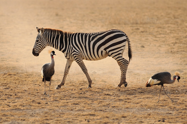 Zebra and Grey Crowned Cranes,Amboseli National Park,Kenya