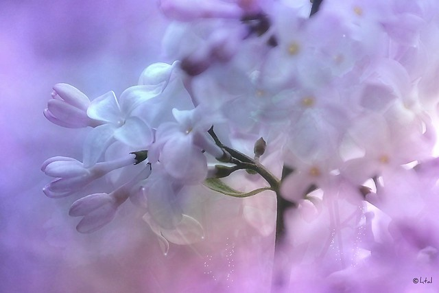 The beauty of the Lilac