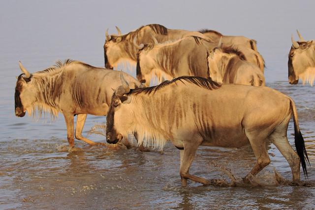 Wildebeests,Amboseli National Park,Kenya