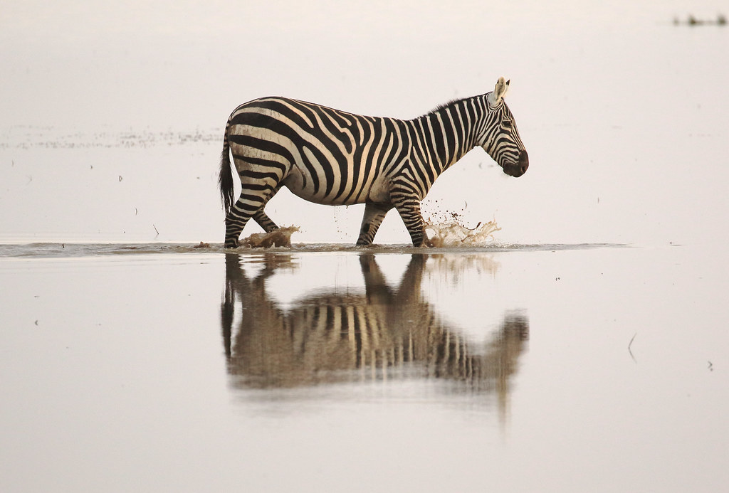 Zebra,Amboseli National Park,Kenya