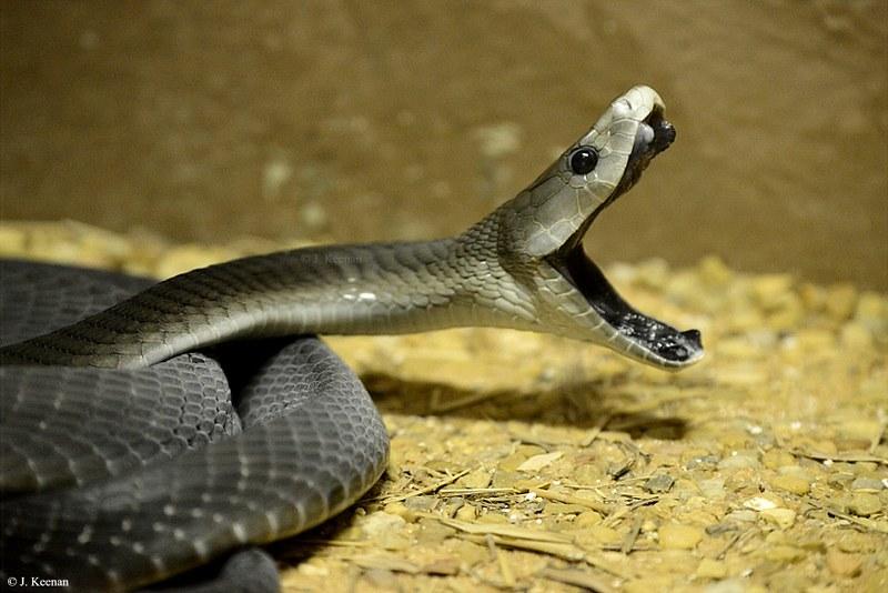 Black Mamba - Dendroaspis polylepis
