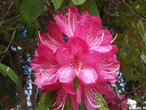 Rhododendron Flower | by i _travel_therefore_i_am