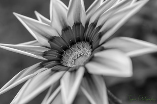 View Of Gazania Flower In Black And White Version