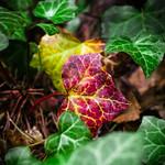 Burgundy ivy leaf