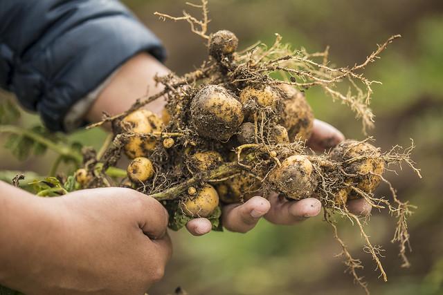 Cultivo de tubérculos nativos