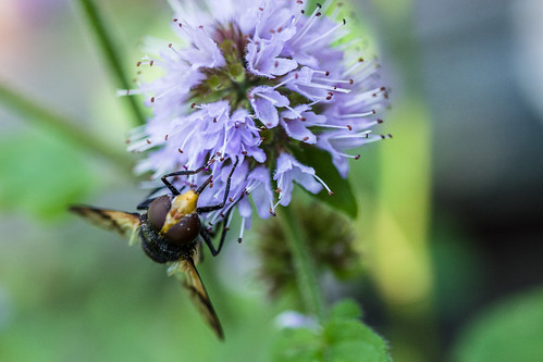 Great Pied Hoverfly