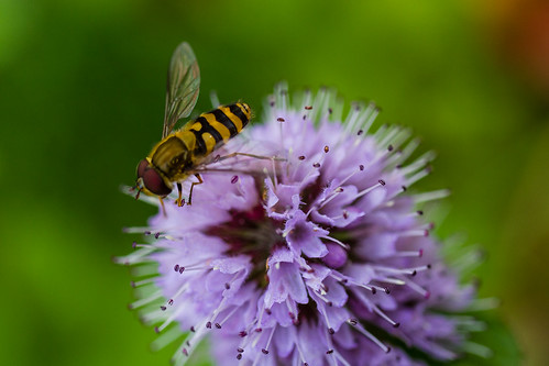 hoverfly on mint