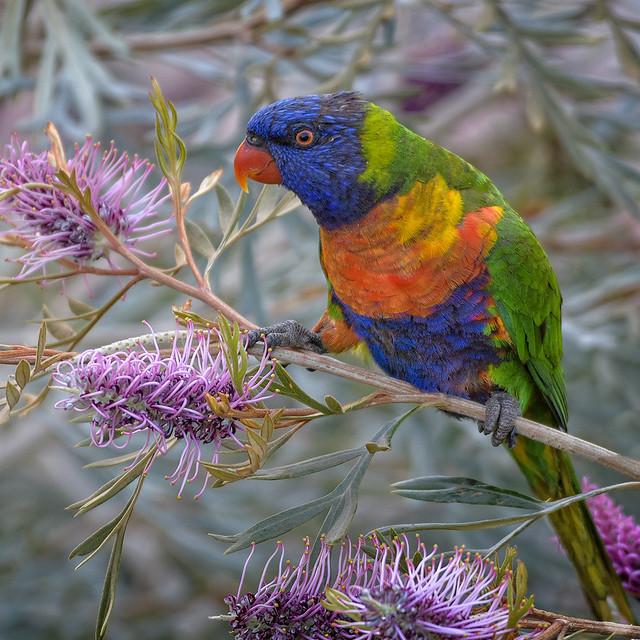 the nectar hunters - rainbow lorikeet in the gravillea