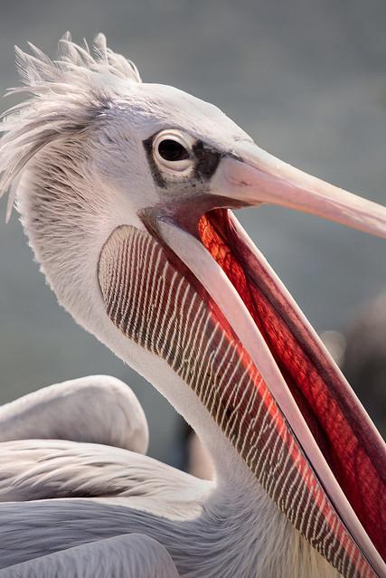Pelican Yawn 3-0 F LR 9-22-19 J112