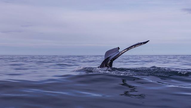 Humpback whale in Skjálfandi