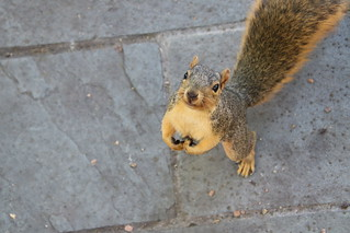 105/366/4122 (September 24, 2019) - Fox Squirrels in Ann Arbor at the University of Michigan - September 24th, 2019