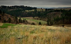 Ponderosa Pines with Rolling Hills and Prairie Grasses (Wind Cave National Park)
