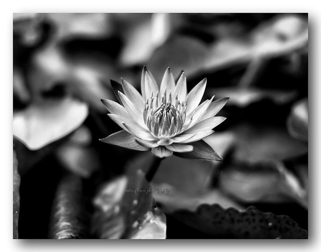 Fantastic water lily.