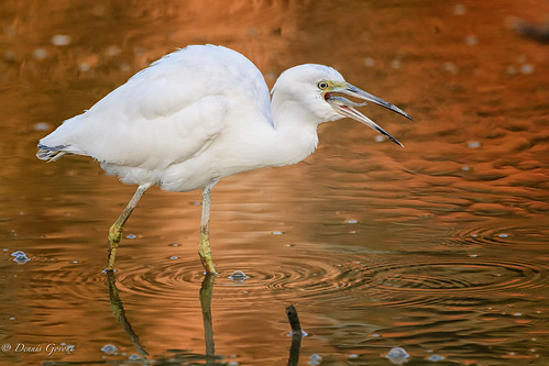 virginia action background bird fish huntleymeadows immature littleblueheron summer sunrise water wildlife alexandria unitedstatesofamerica