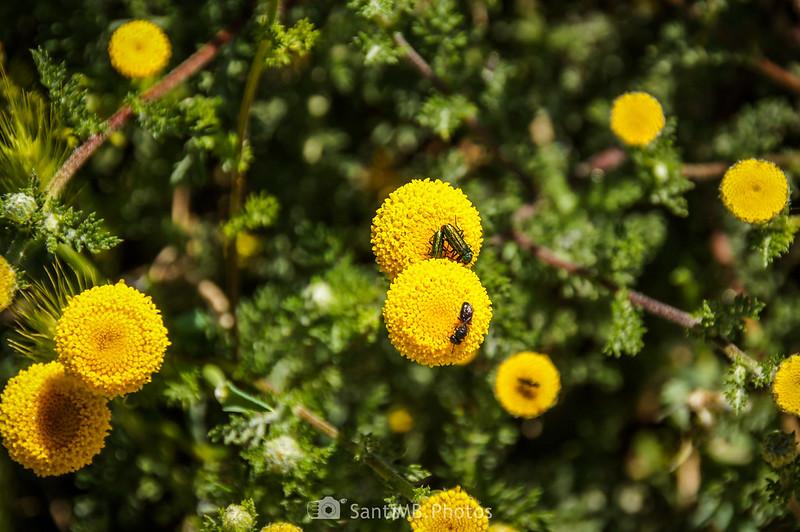 Insectos sobre flores de magarza en el Camí de Sant Valerià