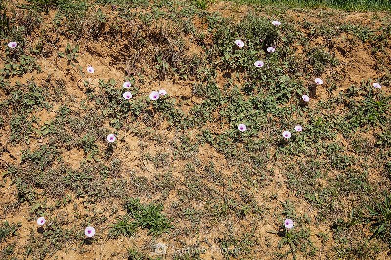 Flores de correhuela en el Camí de la Torre d'en Malla