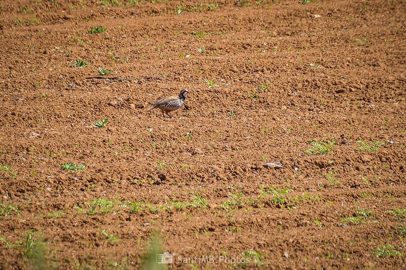 Perdiz roja en un campo de Gallecs