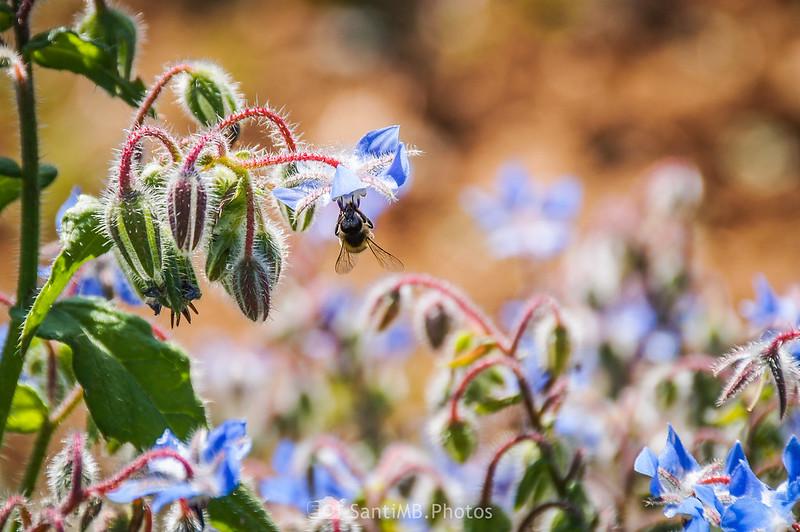 Abeja en flor de borraja en Gallecs