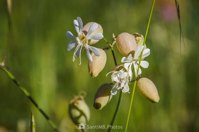 Flores de Silene vulgaris en Gallecs
