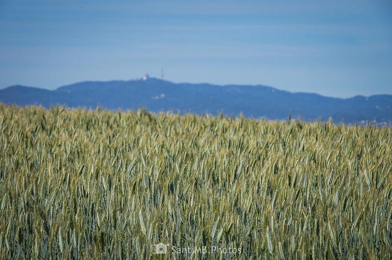 Serra de Collserola sobre campo de trigo en Gallecs
