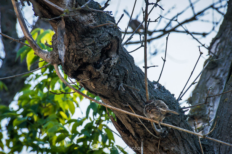 Macho de gorrión vigilando la entrada del nido en Gallecs