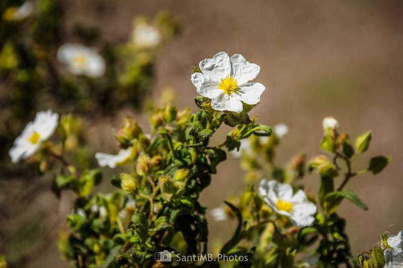 Flores de estepa negra en Gallecs