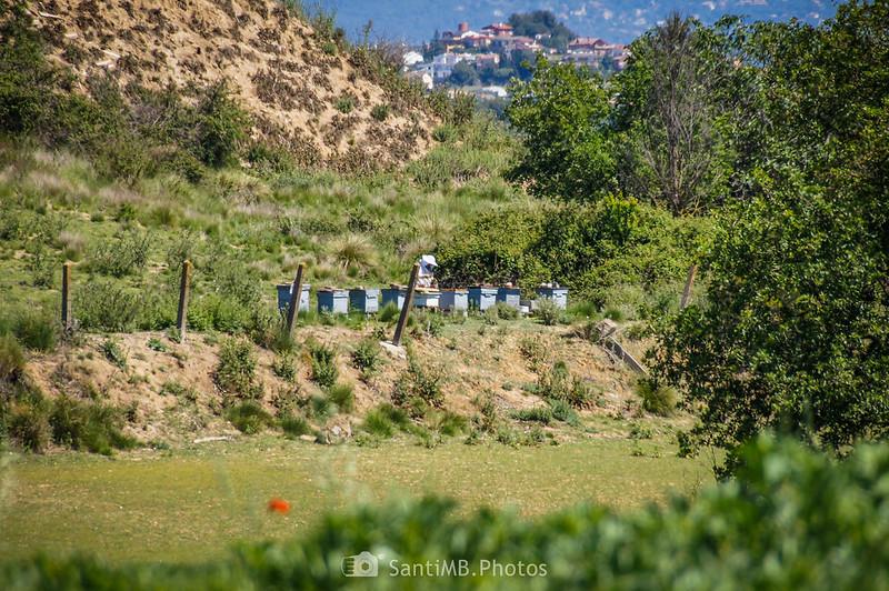 Colmenas de abejas en un campo de Gallecs