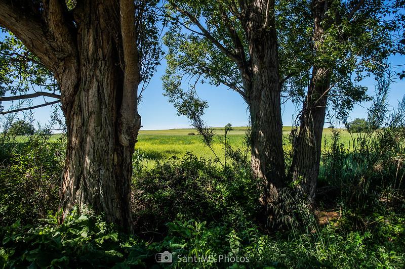 Los campos de Gallecs por entre los chopos negros del Caganell