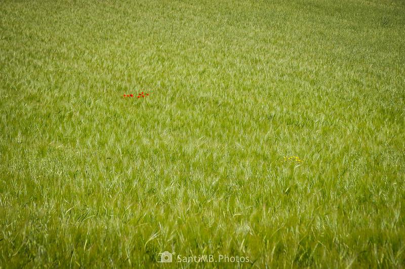 Amapolas y flores amarillas en campo de trigo en Gallecs