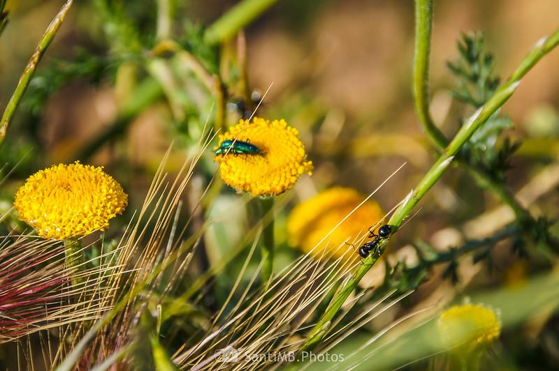 Hormiga observando dos coleópteros copulando sobre una flor de magarza