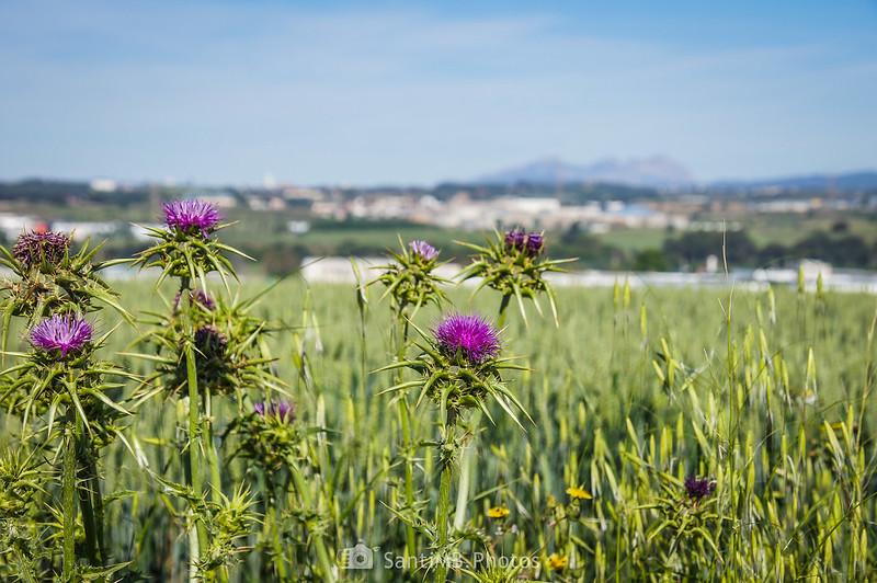 Cardos marianos y Montserrat desde Gallecs