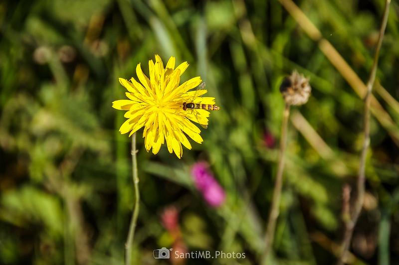 Sírfido sobre flor amarilla en Gallecs
