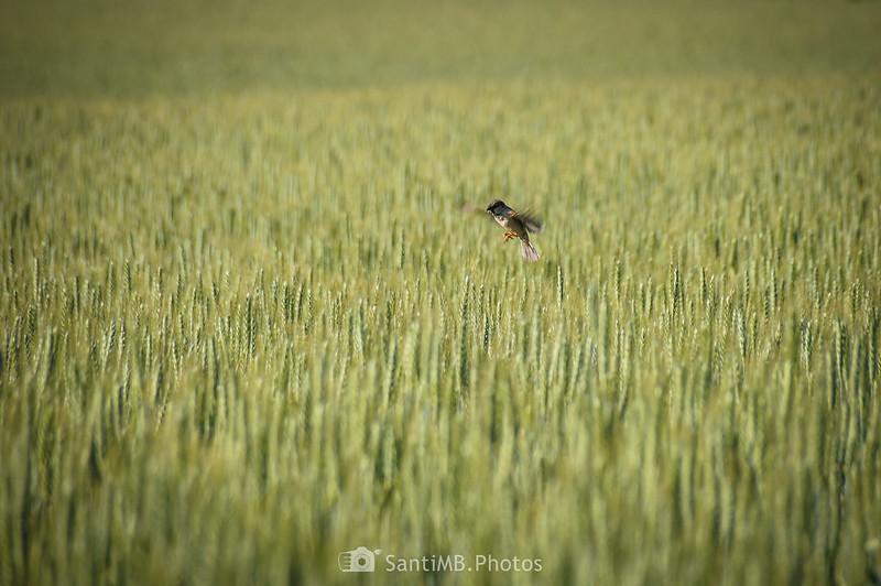 Gorrión sobre campo de cereal en Gallecs