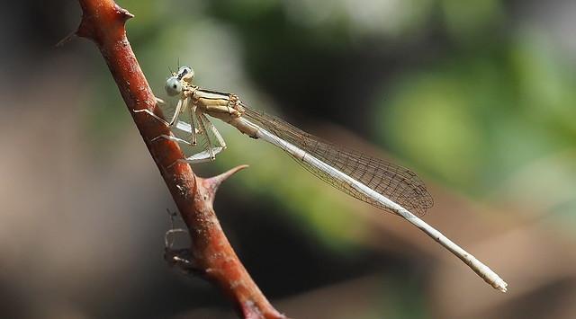 White Featherleg (Platycnemis latipes)